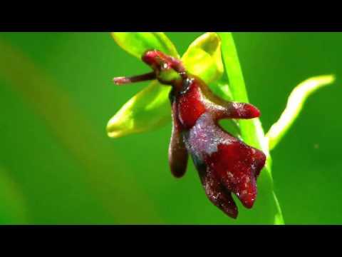 Heimische Orchideen: Bayern - Heimische Orchideen Teil1
