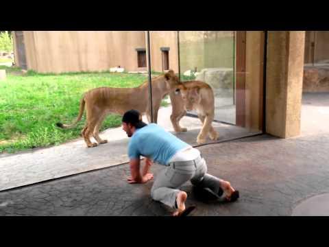 這個男生在動物園趴下來戲弄這些獅子,結果獅子的反應讓所有人超驚喜!太可愛了!