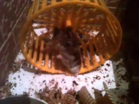 Хомяки ( Hamsters ,hamster) (видео)