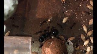 Messor Capitatus Queen Ant Wonder Around