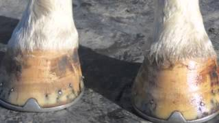 BRITTLE HOOVES