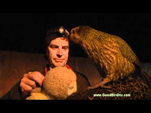 Sirocco the Kakapo Training – Redirecting Mating Behavior