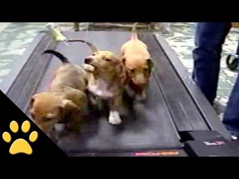 你有看過三隻狗狗一起跑跑步機嗎~~好可愛