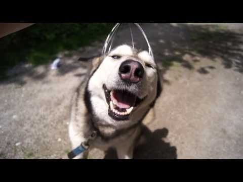 A Husky + A Head Massager = :)