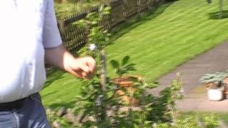#76 Die Fruchtbarkeit der Malini-Apfelsäulenbäume