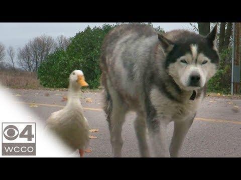 Max ja Quackers – Ankka ja koira ovat parhaat kaverukset