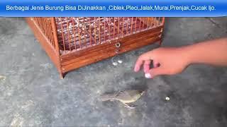 Rahasia Menjinakkan Burung Ciblek Gunung -  Pleci - Prenjak - Jalak - Murai - Cucak Ijo