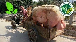 Kỹ thuật chăm sóc lợn giai đoạn khai thác tinh