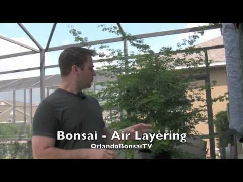 How To Bonsai - Air Layer Propogation