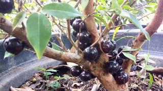 Video jaboticaba : pohon jambu berbuah anggur MP3, 3GP, MP4, WEBM, AVI, FLV Desember 2018