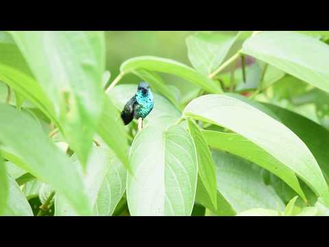 Blue Chinned Sapphire Hummingbird
