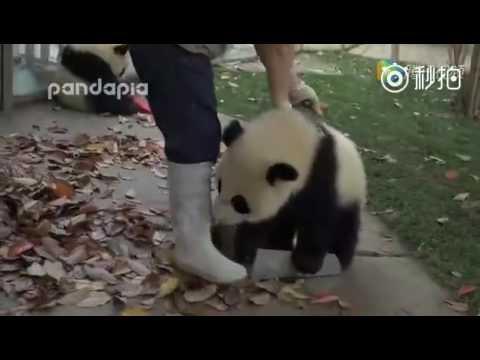 cuccioli di panda fanno i dispetti a chi deve raccogliere le foglie!