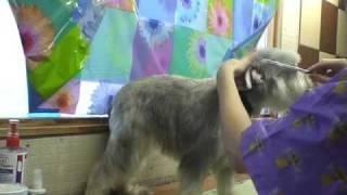 Miniature Schnauzer Pet Grooming