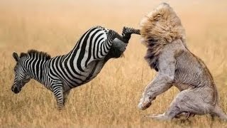 Video When Prey Fights Back | Most Amazing Animal Attack Fails 2016 MP3, 3GP, MP4, WEBM, AVI, FLV September 2018