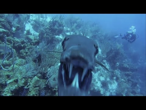 angry barracuda attacks sub - gopro hd