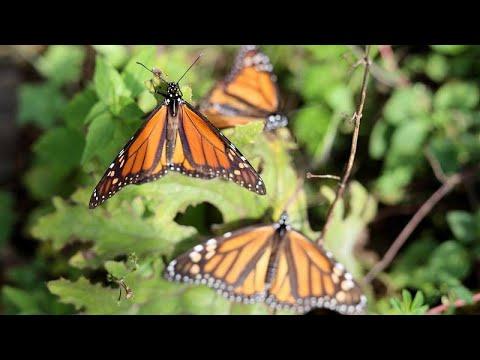 Στο Μεξικό η θαυμαστή πεταλούδα – «μονάρχης»