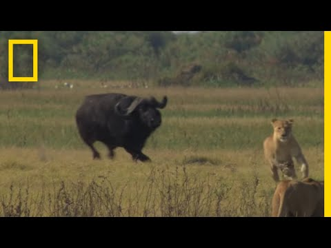 bull - A mighty buffalo bull shows a group of lionesses who's boss. For more on The Last Lions visit www.thelastlions.com.