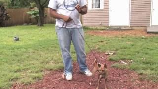 Dog Training&Care : How To Train A Chihuahua