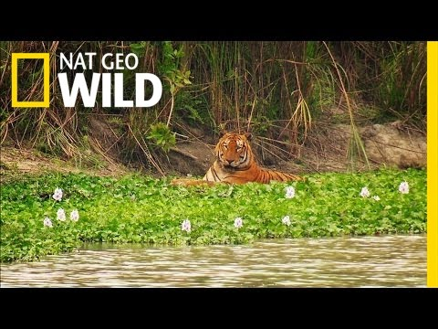 King of the Watering Hole | The Jungle King