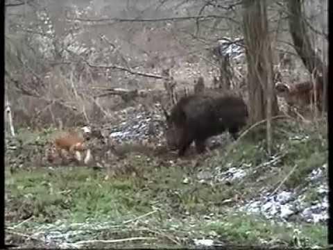 Gonici -Divlja svinja