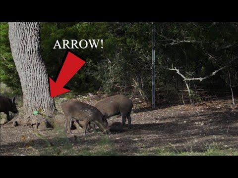 Bowhunting Texas Hogs!!! (2 hogs 1 Arrow)