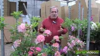 #1137 Sommergrüne Gartenazaleen Rosata Pink Delight und Berryrose