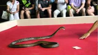 Snake Show Phuket Thailand King Cobra