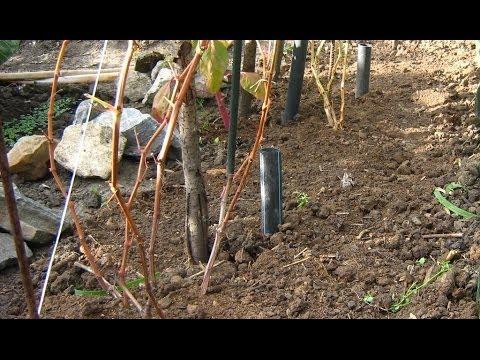 Как правильно сажать семена винограда весной или осенью 74