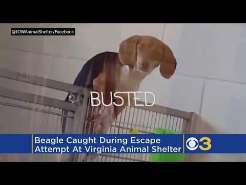 Buttermilk the Beagle -niminen koira jäi kiinni kesken pakenemisyrityksen – Hiukan söpö!