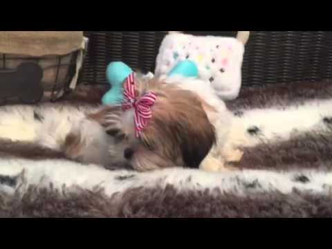 PLAYFUL AND LOVING LITTLE FEMALE SHIH TZU