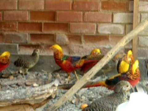 faisanes dorados ornamentales aves en venta