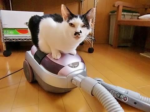 「[ネコ]掃除機をマッサージ器のように受け入れる猫。」のイメージ