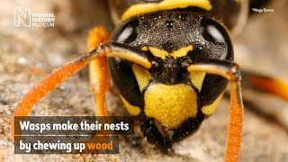 Why do wasps build nests?