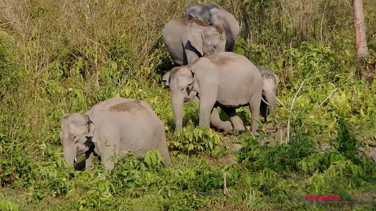 Asian Elephant, Manas