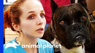 Dog Who Fell From 2nd Story Window Needs Urgent Surgery | Dr. Jeff: Rocky Mountain Vet by Animal Planet
