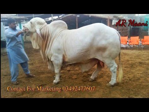 Aesa Bachra Dubara Phir Nhi Dikha || Beautiful White Bull || Nukra Beauty