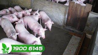 Chăn nuôi lợn   Lợn đi ngoài phân táo, ăn phân: Cách xử lý hiệu quả