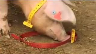 Свиньи хакеры