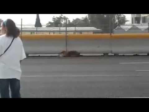 這位勇敢的女士捨命跑到高速公路的中央,為了拯救受傷無法行走的狗。