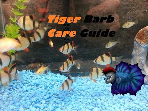 How to Breed Tiger Barbs, Sexing Tiger Barbs, Raising Fry