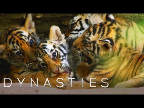 Cute Tiger Cubs Playing   Dynasties   BBC Earth