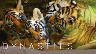 Cute Tiger Cubs Playing | Dynasties | BBC Earth