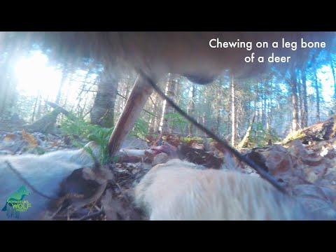 First-ever camera collar footage from a wild wolf