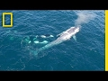 Watch: Killer Whales Charge Blue Whale (Rare Drone Footage) | National Geographic