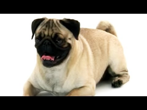 pug: really special dog!