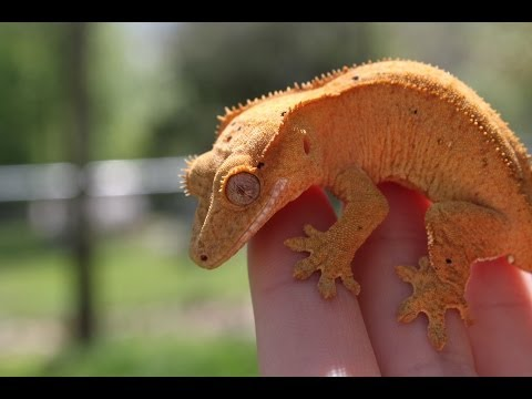 Crested Geckos - Reptile Room May 2014!!