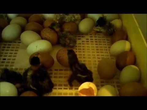 Inkubator / Brutautomat / Brutmaschiene von campo24 / Kunstbrut das erste Mal