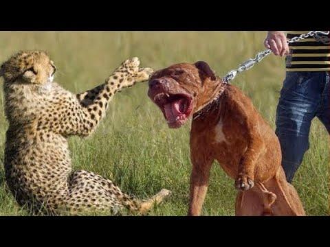 Video اشرس واقوى5 سلالات من الكلاب download in MP3, 3GP, MP4, WEBM, AVI, FLV January 2017