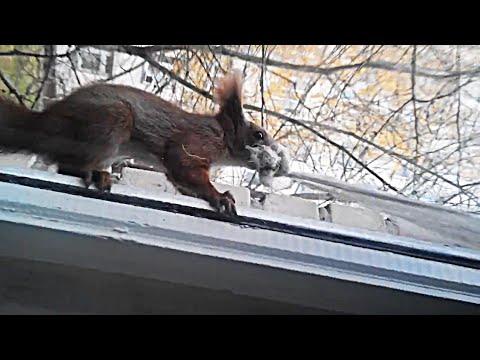 Белка украла сетку с окна