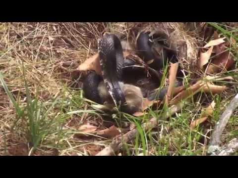 兔媽媽發現兩個寶寶被大黑蛇攻擊致死,於是發瘋似的追殺大黑蛇,絲毫不在意自己區於劣勢!